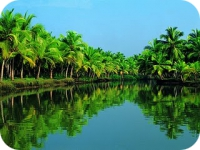 Coconut trees in the backwaters of kerala